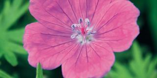 Geranium sanguineum 'Elsbeth', geranio