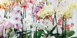 Portare all'aperto le orchidee Phalaenopsis