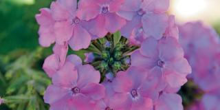 Verbena x hybrida 'Lavender Blue', verbena