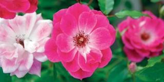 Le rose fiorite in autunno e come curarle