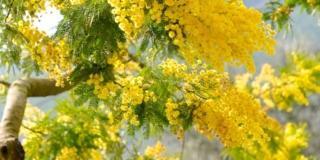 Acacia, un solo nome per alberi diversi