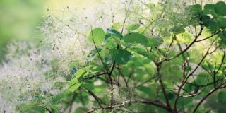 L'albero della nebbia, colore in giardino