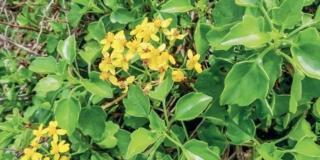 Senecio angulatus, il rampicante fiorito a novembre