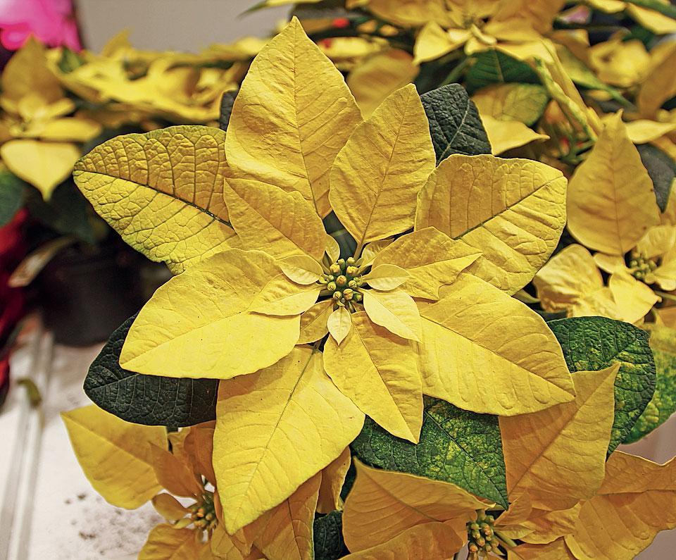 Foto Stella Di Natale.Stella Di Natale I Colori Piu Nuovi Cose Di Casa