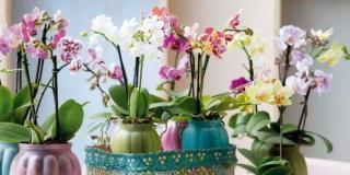 Orchidee: le risposte ai problemi di coltivazione