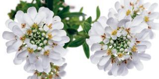iberis sempervirens fiore bianco