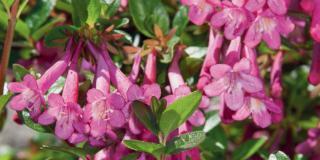 A marzo si pota Abelia floribunda