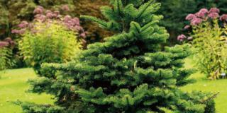 Conifere: quali problemi e come risolverli
