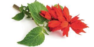 Potare le salvie ornamentali in vaso