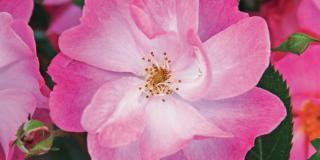 Rosa 'Lavender Dream', a fiore rosa