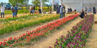 I tulipani di Shirin a raccolta libera. E arriveranno i girasoli!