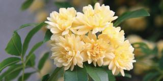 rosa banksiae a fiore giallo