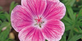 Geranium sanguineum 'Elke', geranio a fiore rosa