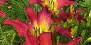 Hemerocallis, fioritura estiva dirompente