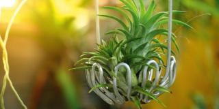 Tillansdia, la pianta senza terra