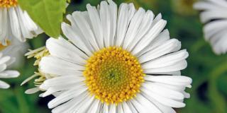 Aster alpinum 'Weisse Schöne'