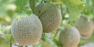 Melone: quali cure e come capire se è maturo