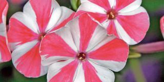 Phlox paniculata 'Peppermint Twist'- flox