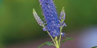 Veronica 'Blue Plume'