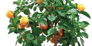 Le cure autunnali per gli agrumi in vaso
