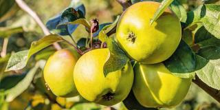Sono pronte le mele autunnali